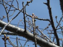s桜 (2)