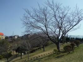 s桜 (1)